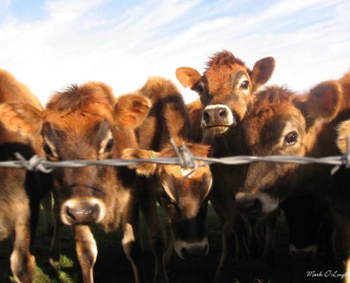 dairy-calves
