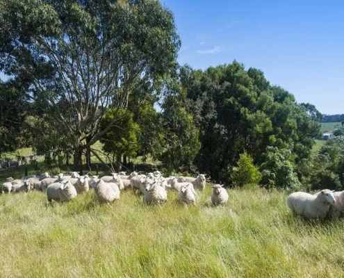 sheep-in-paddock