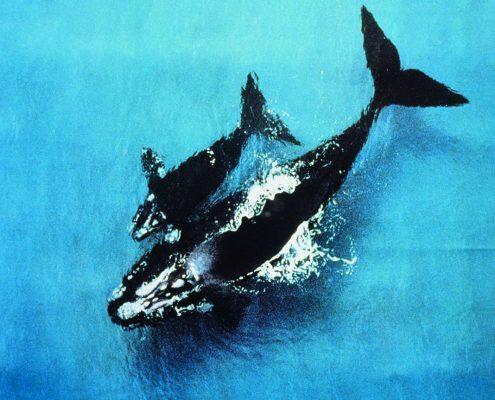 whales-at-warrnambool