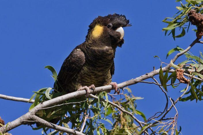 yellow-tailed-cockatoo